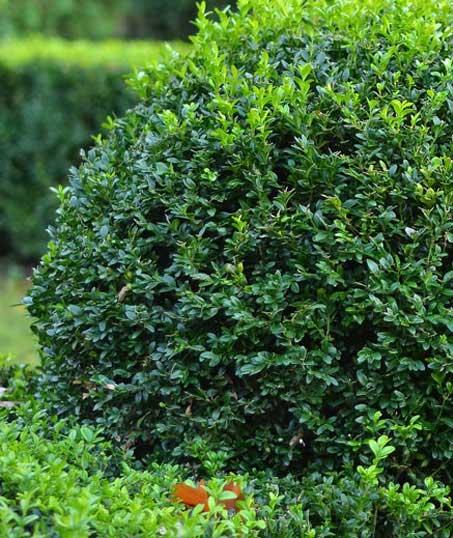Gazal Landscaping Services, Inc. Shrubs & Hedges